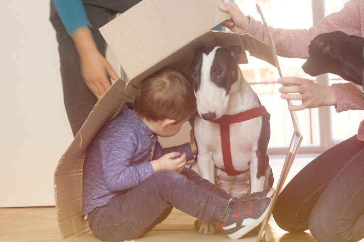 Bull Terrier hiding under cardboard box lid with child