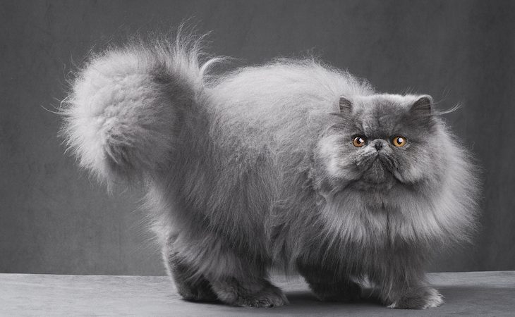 Fluffy blue Persian cat in gray studio setting