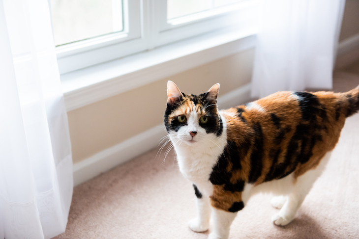 Calico cat standing by low window