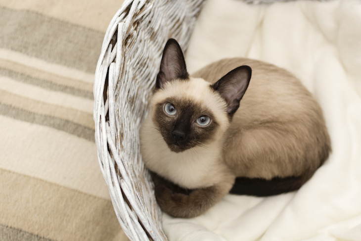 Siamese cat sitting in basket, looking up at camera