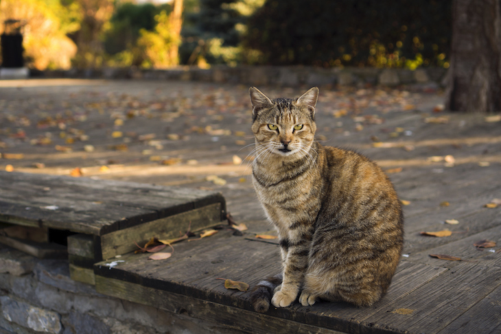 Striped tabby cat sitting outside on wooden decking