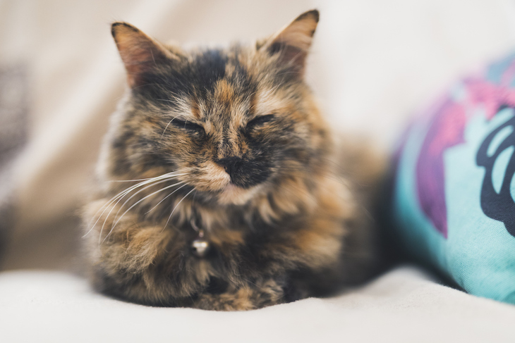 Close-up tortoiseshell cat with squinted eyes