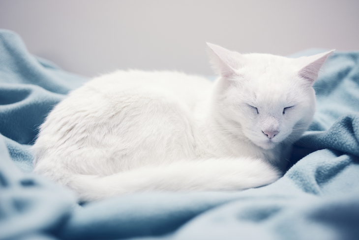White cat curled up asleep on blue blanket