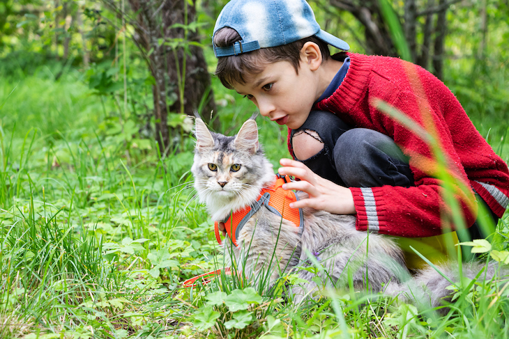 Young boy takes Maine Coon cat for walk on harness in field