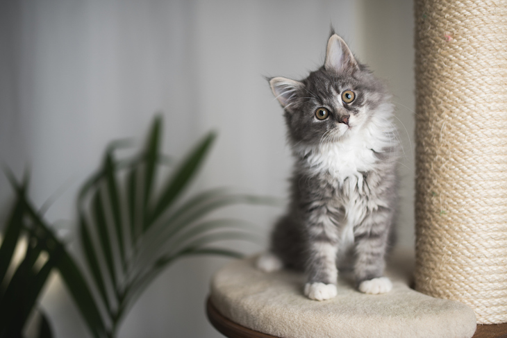 Gray and white Maine Coon kitten perched on cat climbing tree