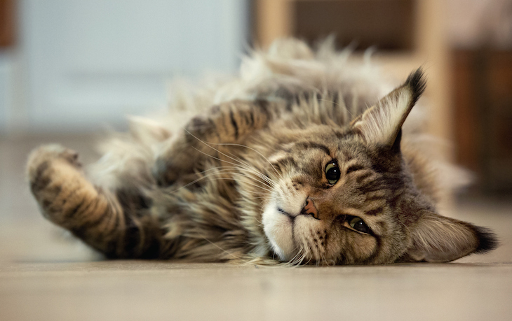 Maine Coon laying sideways on floor