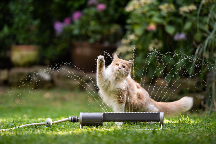 Maine Coon playing with water from sprinkler