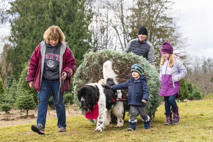 Newfoundland helps carry Christmas Tree with family