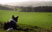Border Collie looks out over green sheep field