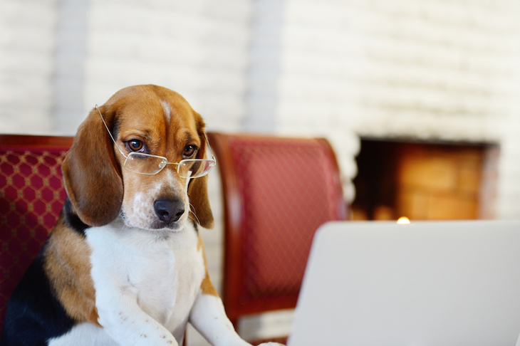 Beagle wearing glasses perched in front of laptop