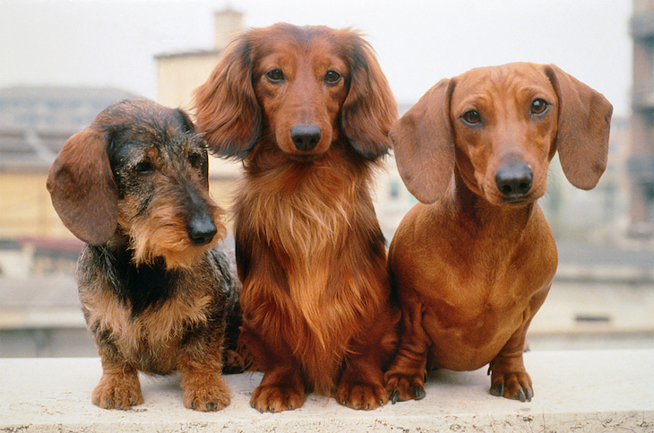 3 Dachshunds - wirehaired, longhaired and shorthaired - sit on a wall