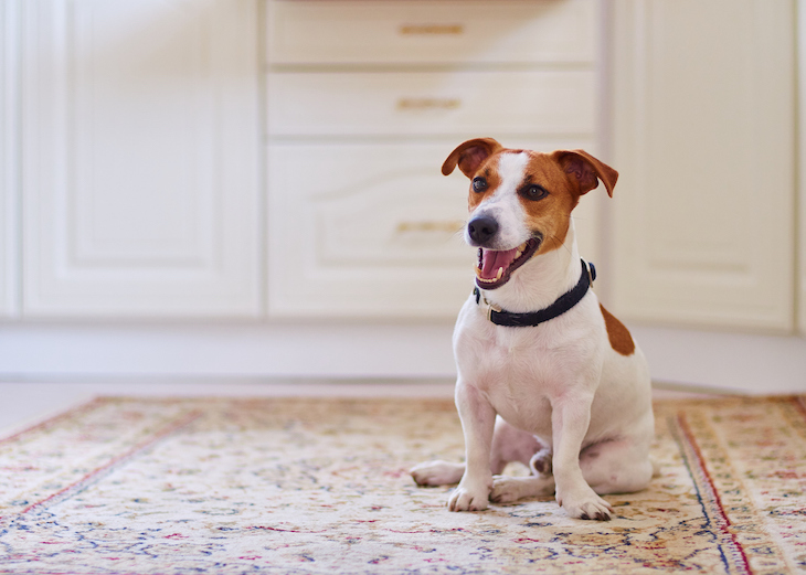 Cute Jack Russell sitting happily on carpet