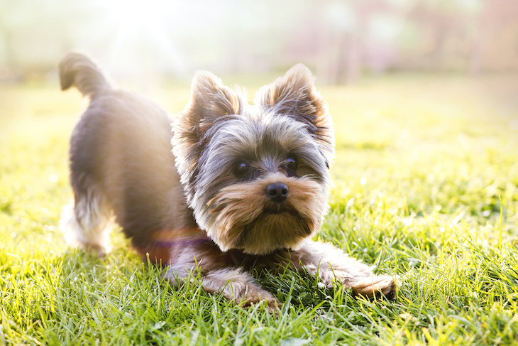Yorkshire Terrier in downward dog position on grass