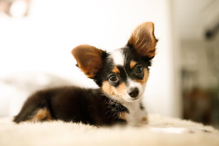 Black, tan and white Chihuahua puppy looking adoringly at camera