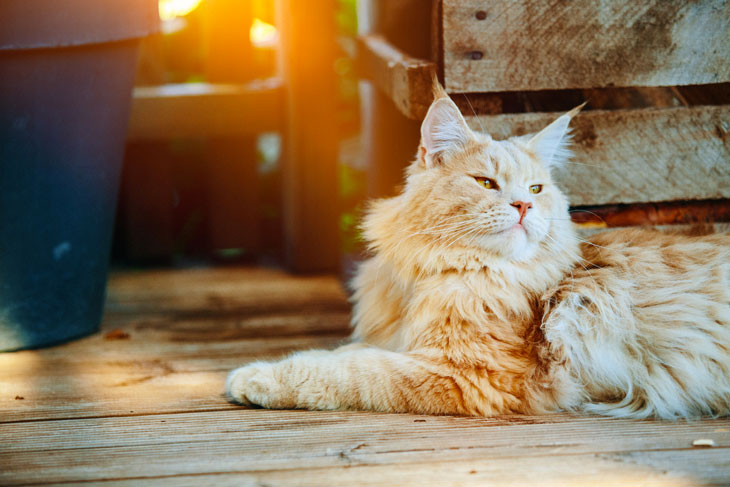 Ginger Maine Coon Lying Outside