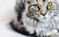 Close-up of Maine Coon