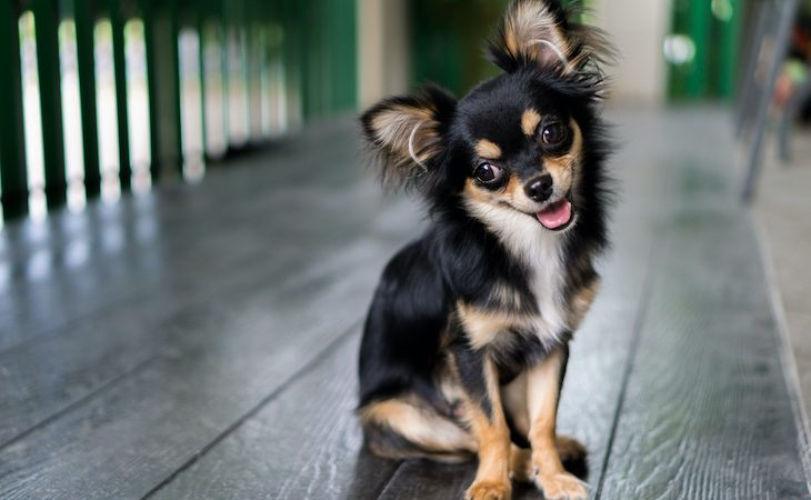 Long haired Chihuahua sitting looking at camera with tongue out