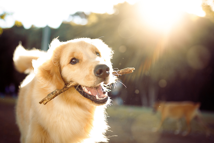 Golden Retriever with stick in mouth
