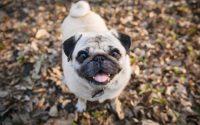 Happy Pug small dog breed