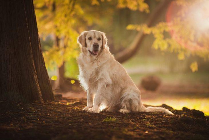 Golden Retriever sitting under tree in forest