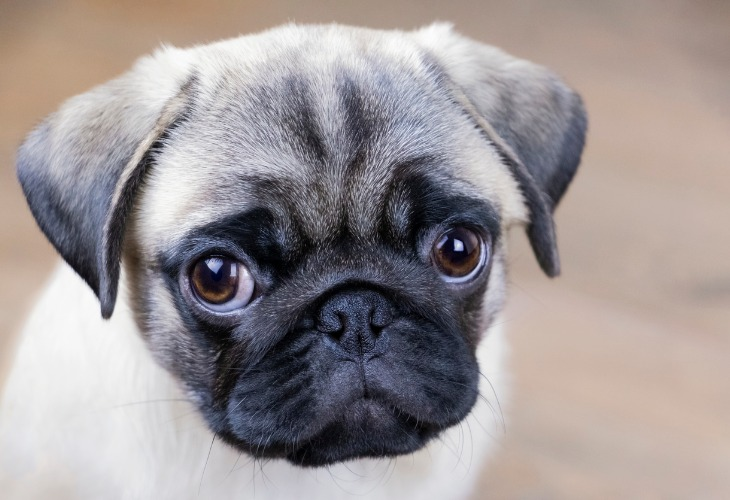 Zoom on Pug puppy's face and puppy dog eyes