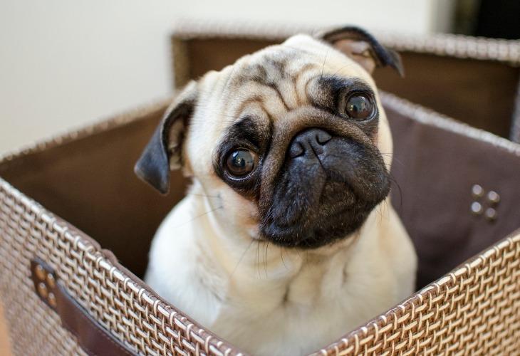 Pug sitting in basket