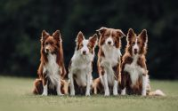 Four brown and white Border Collies sitting together in a park