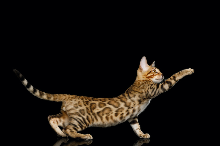 Playful Bengal kitten against black background