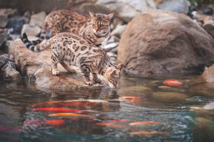 Bengal cats at pond with koi fish