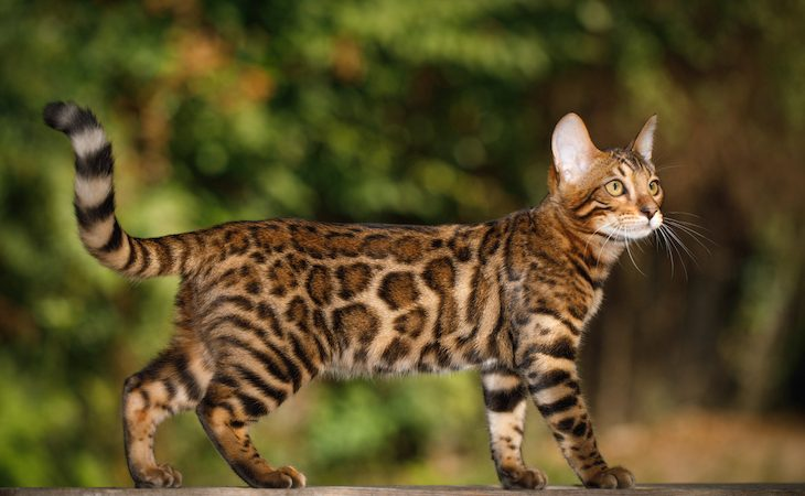 Bengal cat medium-large cat breed