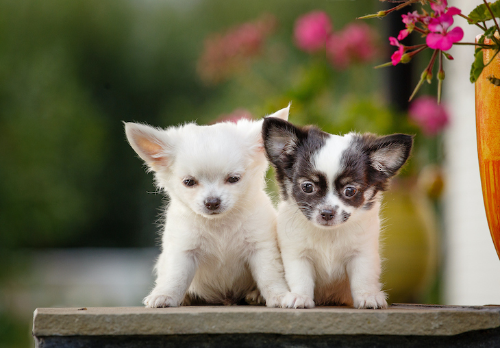 cute Chihuah puppies sitting on the porch of the house on a background of flowers