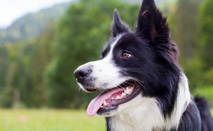 Close-up of Border Collie head with mouth open and tongue out