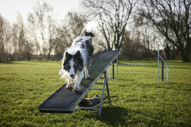 Border Collie climbing down ramp in field