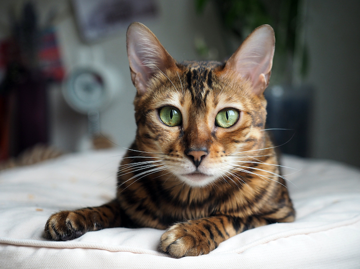 Bengal cat looking directly at camera with intelligence