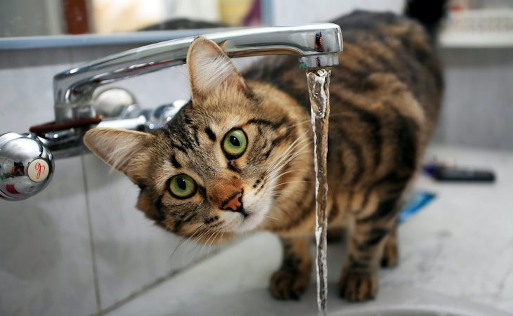 Cat drinking from kitchen tap