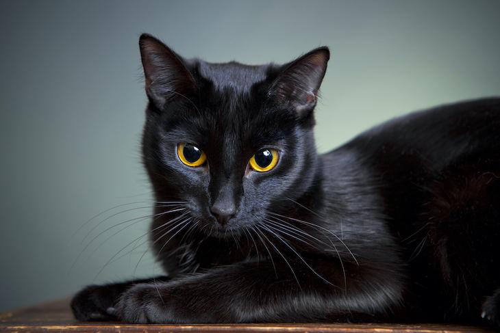 Portrait of black cat with piercing orange eyes