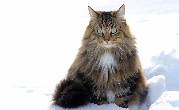 Portrait of a Norwegian forest cat in the snow