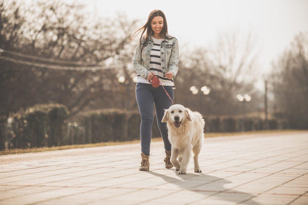A Golden Retriever on a walk.
